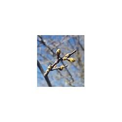 Gemmothérapie, bourgeons d'aubépine de Shanti Breizh à Trégunc
