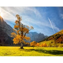 Gemmothérapie d'érable champêtre bio de l'âme des simples à Shanti Breizh, Trégunc près de Concarneau (Finistère Bretagne)