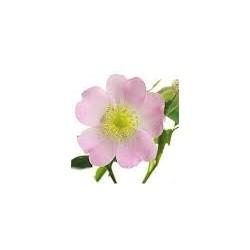 Huile Végétale de rosier muscat bio à Shanti Breizh, Trégunc, Bretagne près de Concarneau et Quimper
